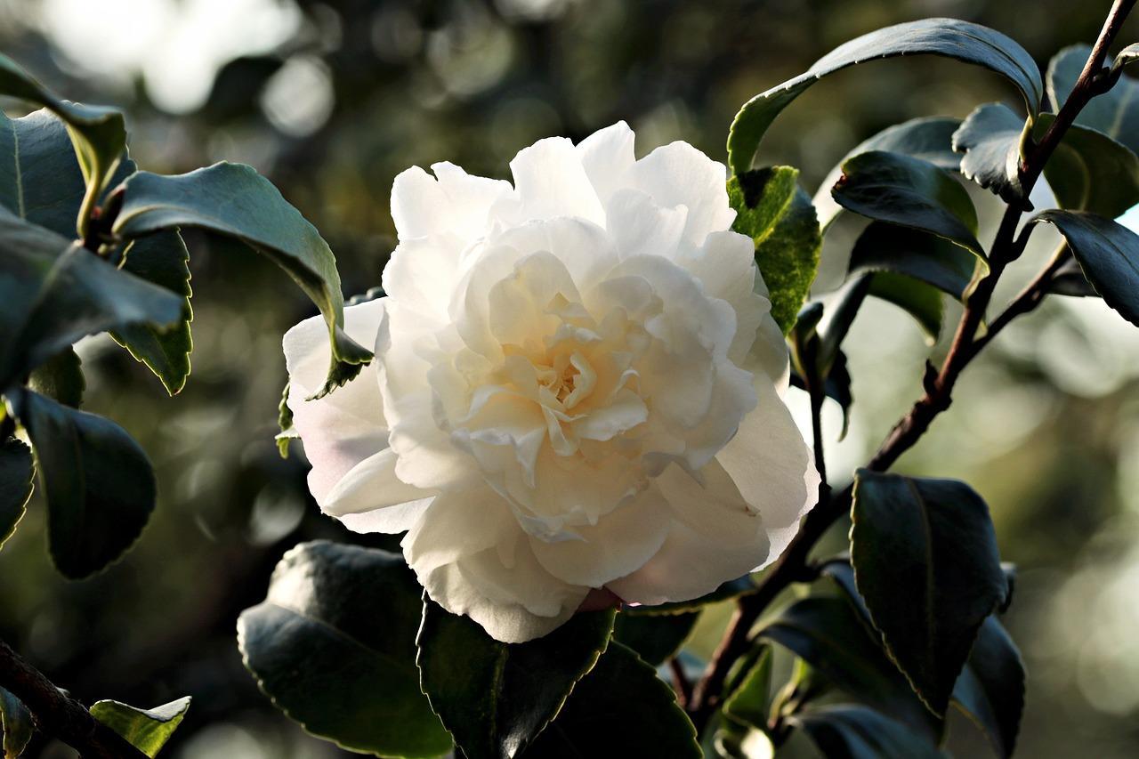 camellia-1883205_1280